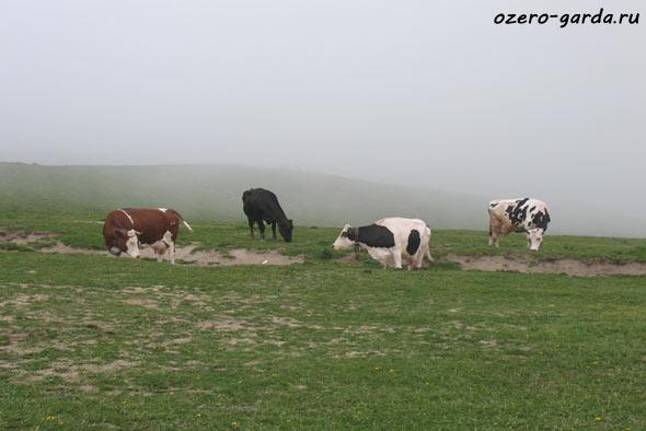 Альпийские коровы фото